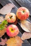 Υγρά φρέσκα κόκκινα μήλα στον κήπο Στοκ φωτογραφία με δικαίωμα ελεύθερης χρήσης