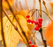 Υγρά φρούτα viburnum σε ένα brunch Στοκ φωτογραφία με δικαίωμα ελεύθερης χρήσης
