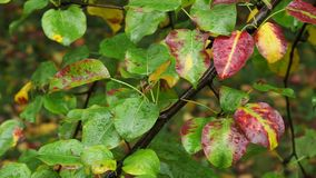 Υγρά φύλλα χρώματος του δέντρου αχλαδιών στη βροχή φθινοπώρου φιλμ μικρού μήκους