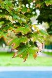 Υγρά φύλλα του δέντρου σφενδάμνου στη βροχερή ημέρα φθινοπώρου Στοκ Εικόνες