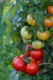 Υγρές πράσινες και κόκκινες ντομάτες Στοκ Φωτογραφίες