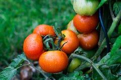 Υγρές πράσινες και κόκκινες ντομάτες Στοκ Εικόνες