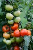 Υγρές πράσινες και κόκκινες ντομάτες Στοκ εικόνες με δικαίωμα ελεύθερης χρήσης