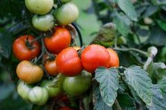 Υγρές πράσινες και κόκκινες ντομάτες Στοκ Φωτογραφία