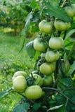 Υγρές πράσινες ντομάτες Στοκ Φωτογραφίες