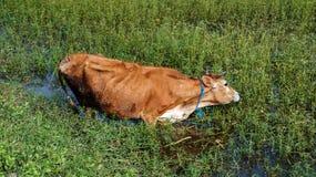 Υγρή αγελάδα στη λίμνη στοκ φωτογραφία με δικαίωμα ελεύθερης χρήσης