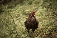 Υγρή βροχή κοτόπουλου Στοκ Εικόνες