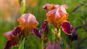 Υγρή κόκκινη ίριδα κάτω από τη βροχή απόθεμα βίντεο
