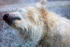 Υγρή πολική αρκούδα που τινάζει - πτώσεις νερού στοκ εικόνες με δικαίωμα ελεύθερης χρήσης