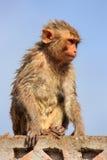 Υγρή συνεδρίαση του ρήσου μακάκου macaque σε έναν τοίχο πετρών στο Jaipur, Rajasthan, Στοκ Εικόνες