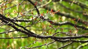 Υγρός από τη βροχή, ένας κλάδος ενός δέντρου που ταλαντεύεται στον αέρα απόθεμα βίντεο