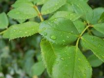 Υγρός βγάζει φύλλα στοκ φωτογραφίες με δικαίωμα ελεύθερης χρήσης