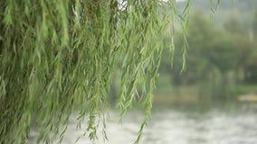 Υγρός κλάδος δέντρων και στενός επάνω νεροποντής Πράσινο δέντρο στο θολωμένο υπόβαθρο της βροχής Μείωση νερού στον κλάδο στο δάσο απόθεμα βίντεο