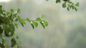 Υγρός κλάδος δέντρων και στενός επάνω νεροποντής Πράσινο δέντρο στο θολωμένο υπόβαθρο της βροχής Μείωση νερού στον κλάδο στο δάσο φιλμ μικρού μήκους