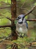 Υγρός μπλε jay Στοκ φωτογραφία με δικαίωμα ελεύθερης χρήσης