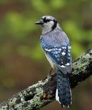 Υγρός μπλε jay Στοκ Εικόνες