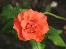 Υγρός πορτοκαλής αυξήθηκε λουλούδι Στοκ Φωτογραφίες