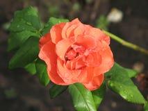 Υγρός πορτοκαλής αυξήθηκε λουλούδι Στοκ εικόνες με δικαίωμα ελεύθερης χρήσης