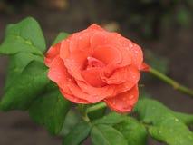 Υγρός πορτοκαλής αυξήθηκε λουλούδι Στοκ Εικόνες