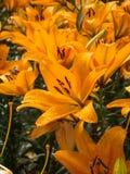 Υγρός πορτοκαλής κρίνος Στοκ εικόνα με δικαίωμα ελεύθερης χρήσης