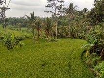 Υγρός τομέας ρυζιού στοκ εικόνα