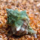 Υγρό θαλασσινό κοχύλι στην άμμο Στοκ Φωτογραφία