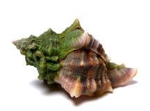 Υγρό θαλασσινό κοχύλι στο λευκό Στοκ Εικόνα