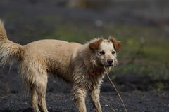 Υγρό κίτρινο σκυλί στην παραλία Στοκ Εικόνα