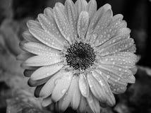 Υγρό λουλούδι gerber στοκ φωτογραφίες