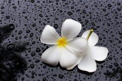 Υγρό λουλούδι Plumeria με το μαύρο υπόβαθρο Στοκ φωτογραφία με δικαίωμα ελεύθερης χρήσης