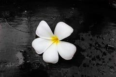 Υγρό λουλούδι Plumeria με το μαύρο υπόβαθρο Στοκ Εικόνες