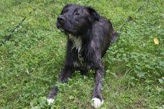 Υγρό σκυλί ποιμένων υπαίθρια στη χλόη Στοκ φωτογραφία με δικαίωμα ελεύθερης χρήσης