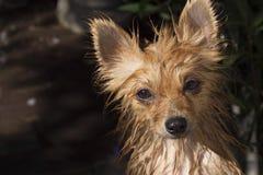 Υγρό σκυλί, σκυλί κατάδυσης Στοκ Φωτογραφίες