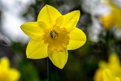 Υγρό φως του ήλιου Daffodil Στοκ φωτογραφία με δικαίωμα ελεύθερης χρήσης