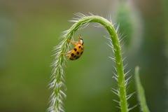Υγρό Ladybug στον ατμό παπαρουνών στον κήπο Στοκ εικόνες με δικαίωμα ελεύθερης χρήσης