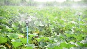 Υδάτινο σύστημα ψεκαστήρων στο φρέσκο αγρόκτημα κολοκύθας απόθεμα βίντεο