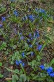 υδράργυρος (siberica Scilla) σε Καύκασο στοκ εικόνα με δικαίωμα ελεύθερης χρήσης
