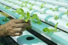Υδροπονικές σαλάτες στον κήπο Ταϊλάνδη Στοκ εικόνα με δικαίωμα ελεύθερης χρήσης