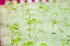 Υδροπονικές σαλάτες στον κήπο Ταϊλάνδη Στοκ φωτογραφία με δικαίωμα ελεύθερης χρήσης