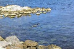 Υδροχόος κολυμπά στην ακτή παλαιού Nessebar Στοκ Εικόνες