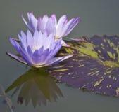 υδρόβια ομορφιά Μπρούκλιν Στοκ Φωτογραφίες