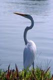 υδρόβιο πουλί Στοκ Εικόνες