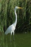 υδρόβιο πουλί Στοκ Φωτογραφίες