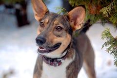 Υιοθετημένες αρκετά μιγάς προηγούμενες στάσεις περιπλανώμενων σκυλιών μόνο στο υπόβαθρο χιονιού, με το καφετί περιλαίμιο δέρματος στοκ εικόνες