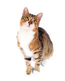 υιοθετημένη γάτα περιπλανώμενη Στοκ Εικόνες