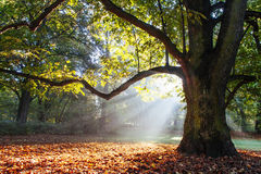δυνατό δρύινο δέντρο Στοκ φωτογραφίες με δικαίωμα ελεύθερης χρήσης