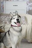 υπάκουος αστείος γεροδεμένος σκυλιών στοκ εικόνα με δικαίωμα ελεύθερης χρήσης