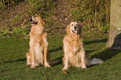 Υπάκουος χρυσός ανακτά τα σκυλιά στοκ φωτογραφίες με δικαίωμα ελεύθερης χρήσης