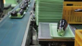 Υπάλληλοι που συσκευάζουν τις μελιτζάνες και που βάζουν στη ζώνη μεταφορέων στην επιχείρηση απόθεμα βίντεο