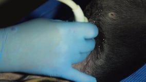 Υπέρηχος διαγνωστικός στην κτηνιατρική κλινική απόθεμα βίντεο